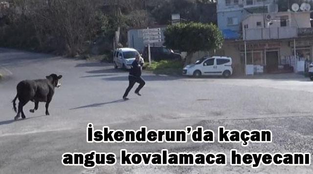 İskenderun'da kaçan angus kovalamaca heyecanı