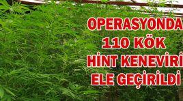 OPERASYONDA 110 KÖK HİNT KENEVİRİ ELE GEÇİRİLDİ